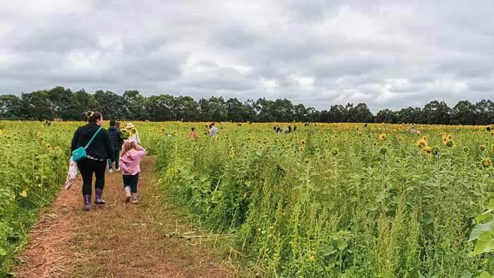 Sunflower Field Victoria