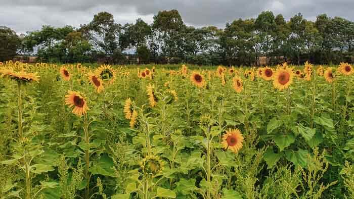 Sunflower Field at Dunnstown near Ballarat