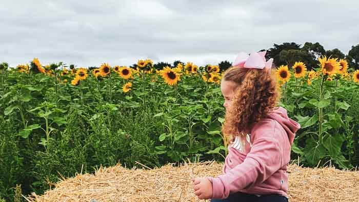 Picture in the Sunflower Field Victoria