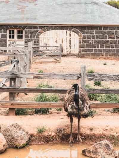 Emu at Werribee Zoo
